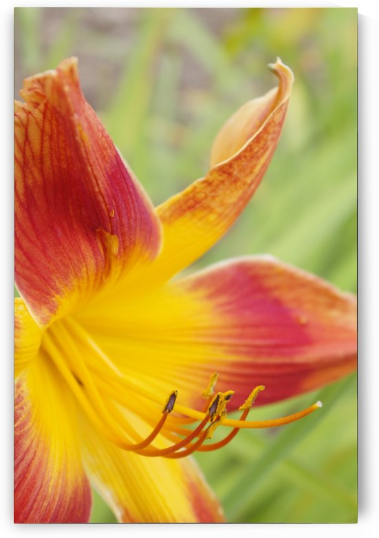 Peach Lilly by Wade Anderson