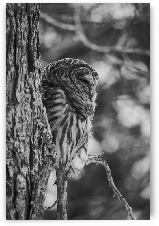 Black and white Barred Owl by Jimmie Pedersen