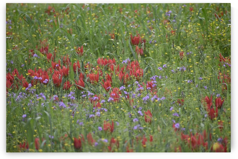 Wild Tulip Meadow with assorted wild flowers by Puzbie