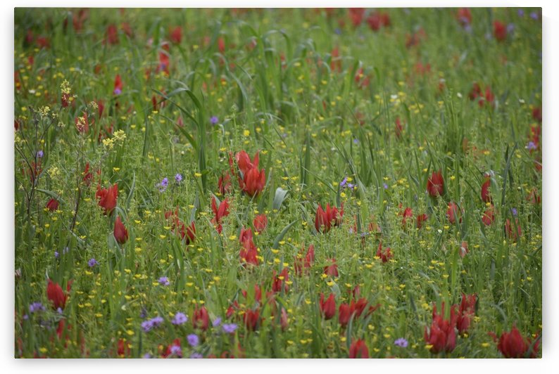 Wild Flower Meadow -  Red Tulips and more by Puzbie