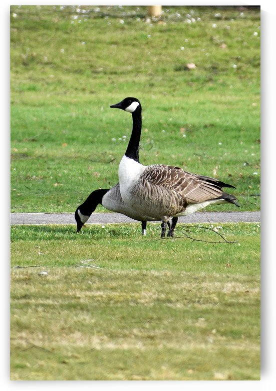 Canada Geese - Pair on Field by Puzbie