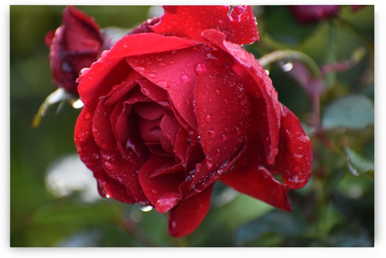 Red Rose with Rain Drops by Puzbie