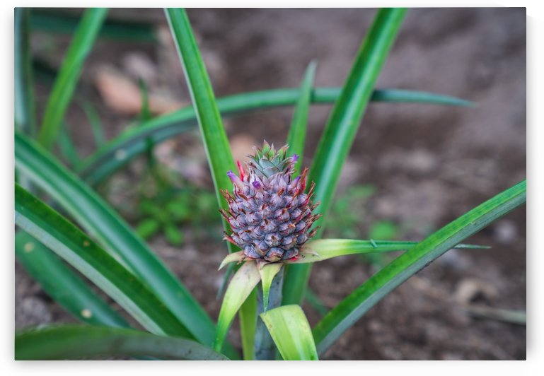 Baby Pineapple 5 by Peter Kaple