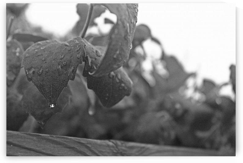 Dripping Leaves B&W by Gods Eye Candy