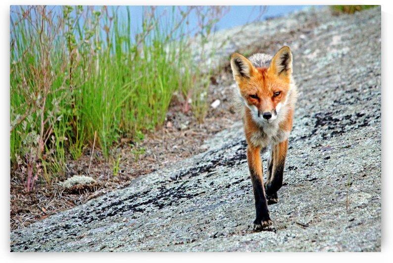Foxy by Deb Oppermann