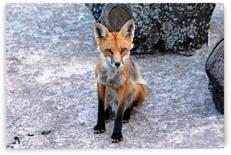Red Fox With Black Socks by Deb Oppermann