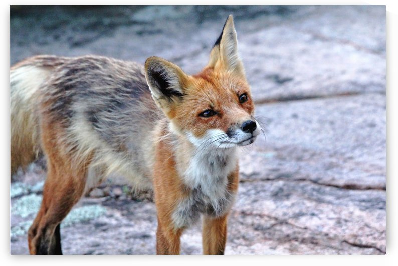 Inquisitive Fox by Deb Oppermann