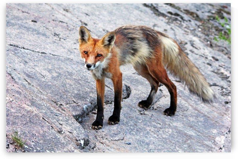 Wary Fox by Deb Oppermann