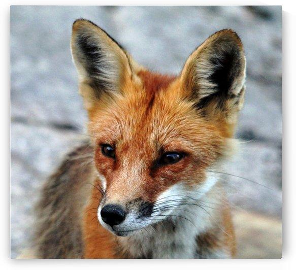 Red Fox Portrait by Deb Oppermann