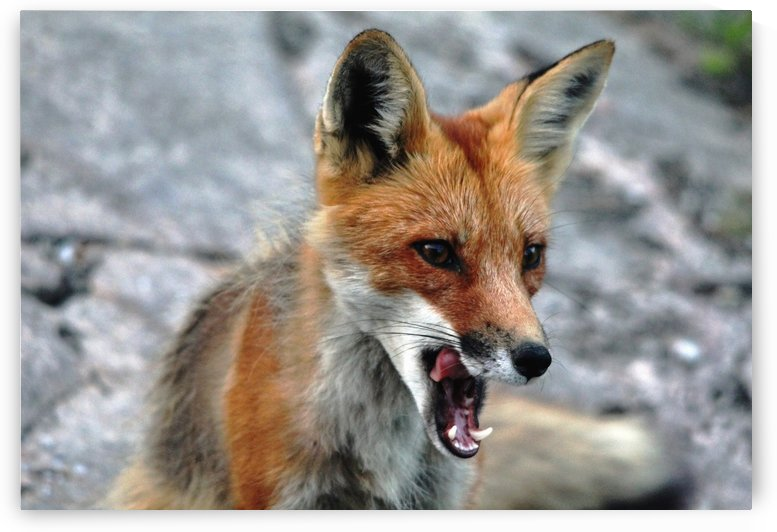 Hungry Red Fox by Deb Oppermann