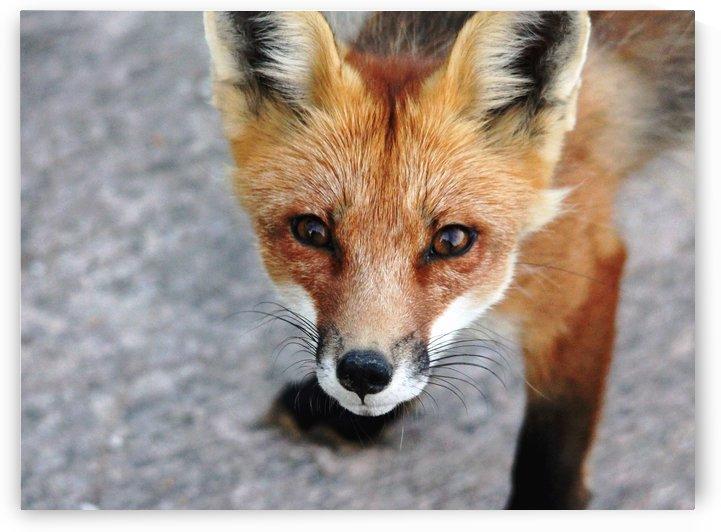 Shy Red Fox by Deb Oppermann