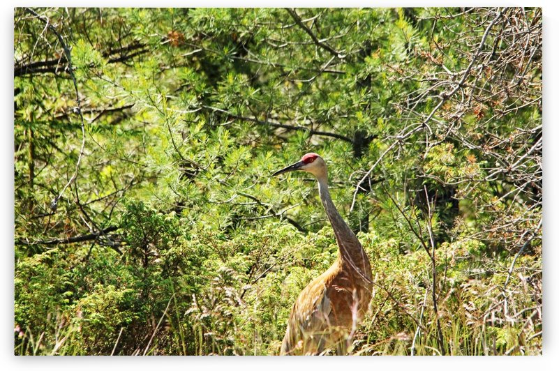 Sandhill Crane In The Woods by Deb Oppermann