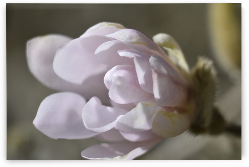 Magnolia Blossom - White Cream and pale Pink by Puzbie