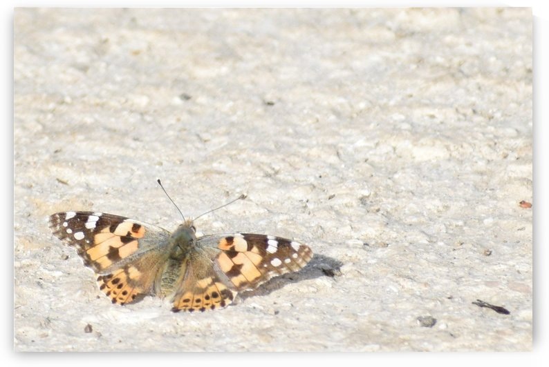 Painted Lady Butterfly - Shades of Red and Brown by Puzbie