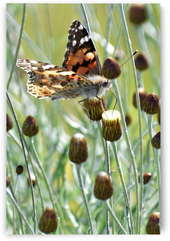 Painted Lady Butterfly on Yellow Buds by Puzbie