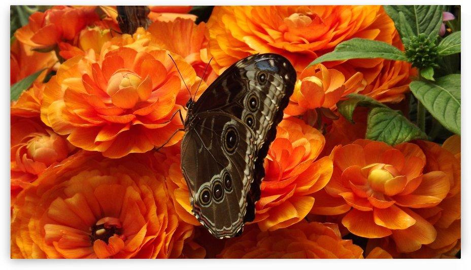 Giant Owl Butterfly On Orange Flowers by Linda Peglau