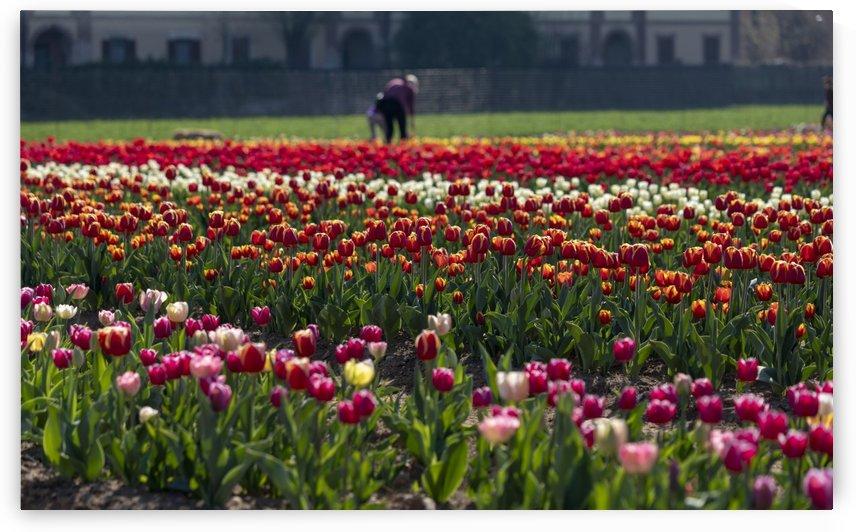 Tulip field by Pietro Ebner