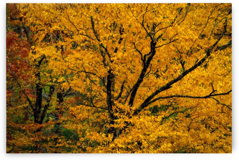 Yellow Tree Leaves by Claire