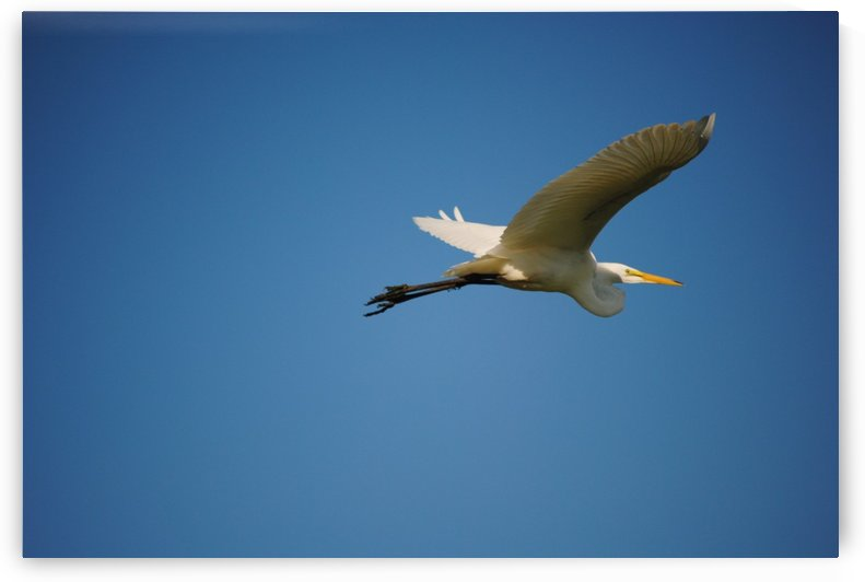 Egret Flying by Brent Luke Augustus
