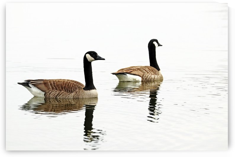 Classy Canada Geese by Deb Oppermann