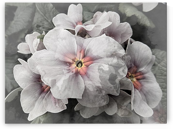 Ghostly Primulas by Dorothy Berry-Lound