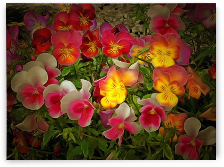 Radiance Pansies by Dorothy Berry-Lound