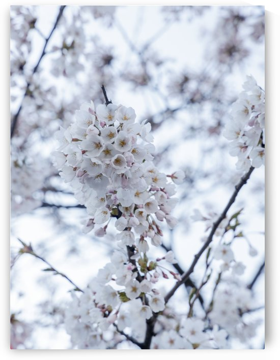 Cherry blossom white by Per-Anders Gunnarsson
