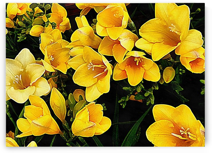 Yellow Freesias by Dorothy Berry-Lound