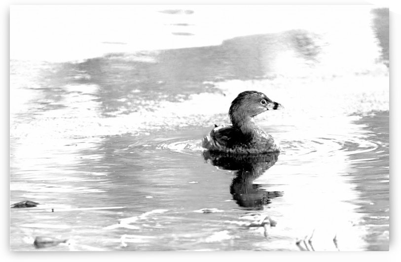 Pied Billed Grebe Black And White by Deb Oppermann
