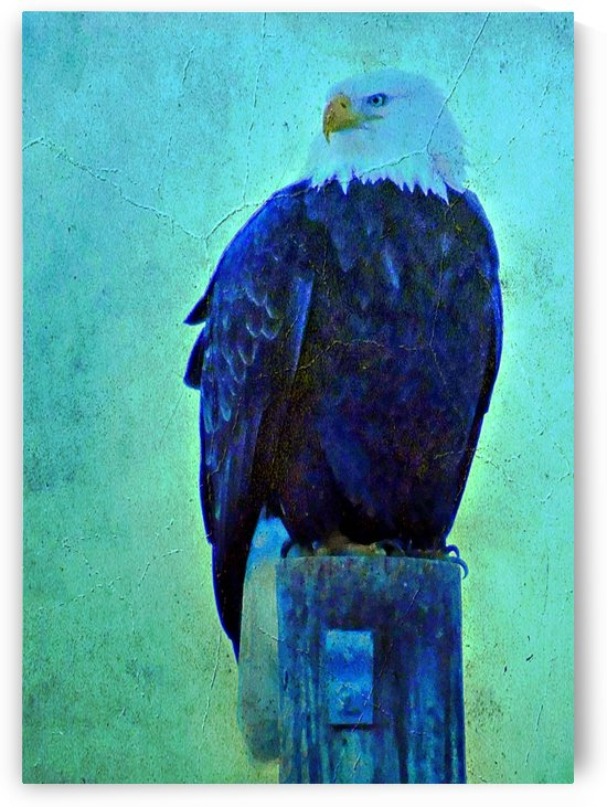 Old style Bald Eagle  by 151 West