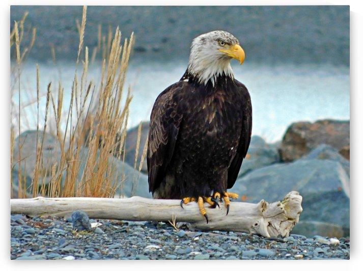 Dudiak Bald Eagle  by 151 West