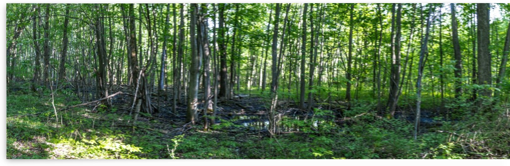 1000 Acre Swamp Panorama 2 by William Norton Photography