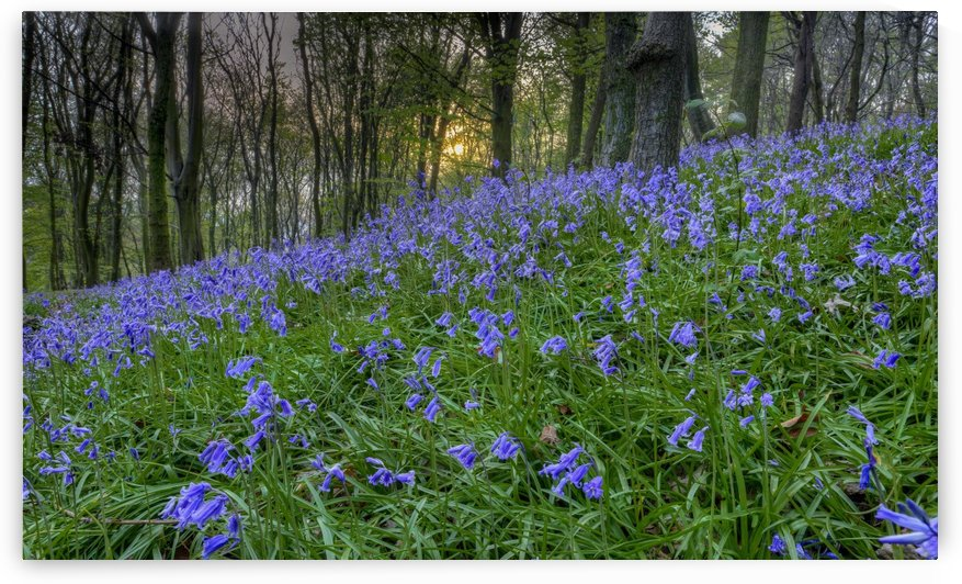 Sunset at Bluebell Wood in Margam by Leighton Collins