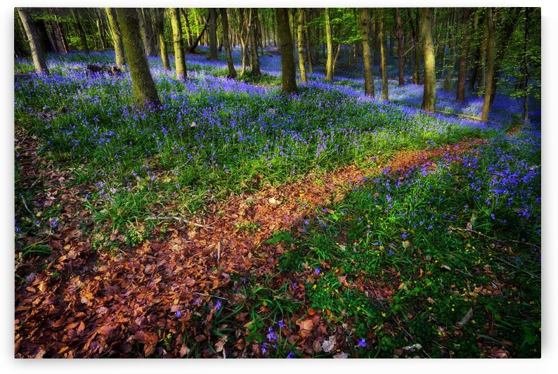 Bluebell Wood in Margam by Leighton Collins