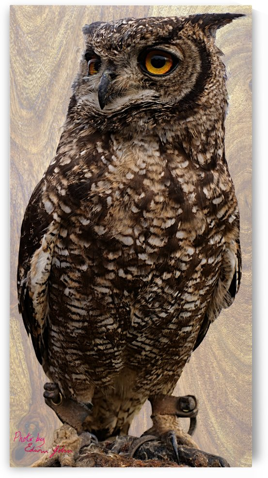 Eagle Owl Bubo bubo by Edwin John