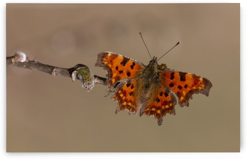 Comma butterfly by Pietro Ebner