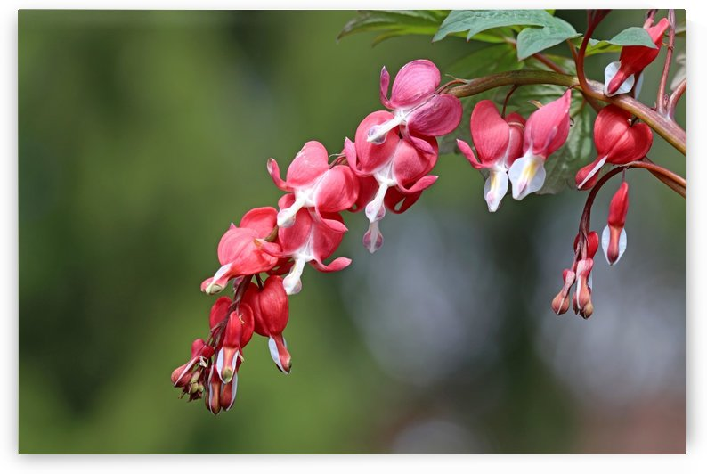 Valentine Bleeding Hearts by Deb Oppermann