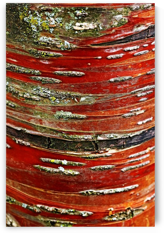 Manchurian Cherry Bark Abstract by Deb Oppermann