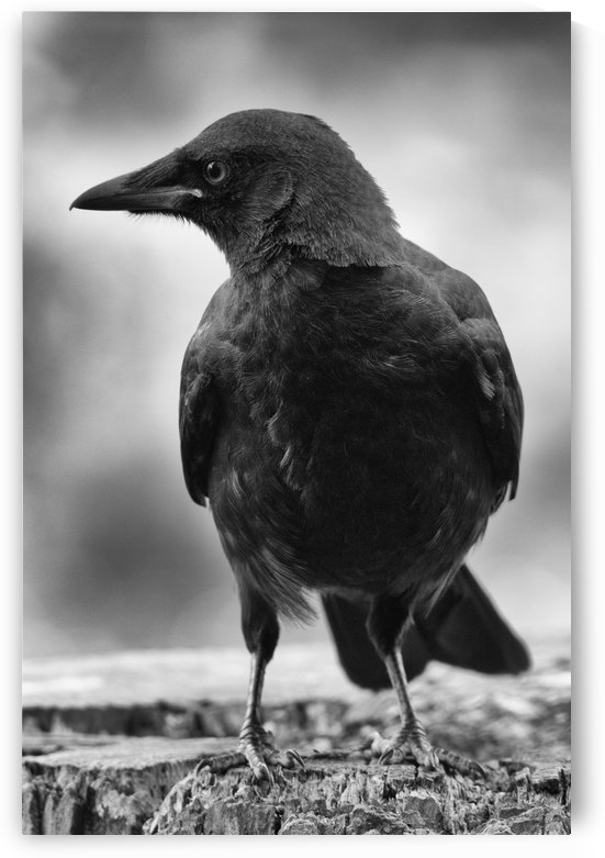 Songhees Crow by Ty Hedden