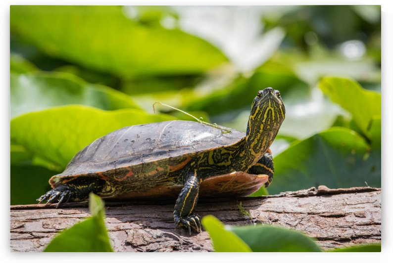 Beacon Hill Turtle by Ty Hedden