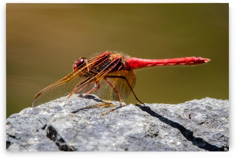 Dragonfly by Ty Hedden