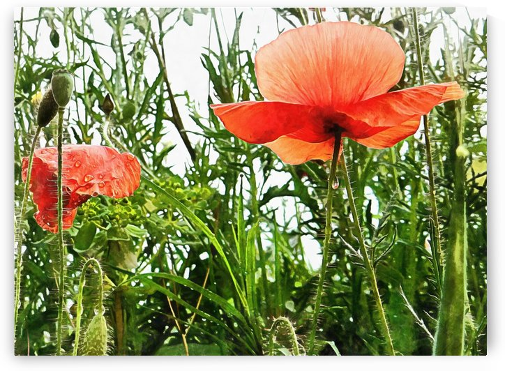 Poppies After The Rain by Dorothy Berry-Lound