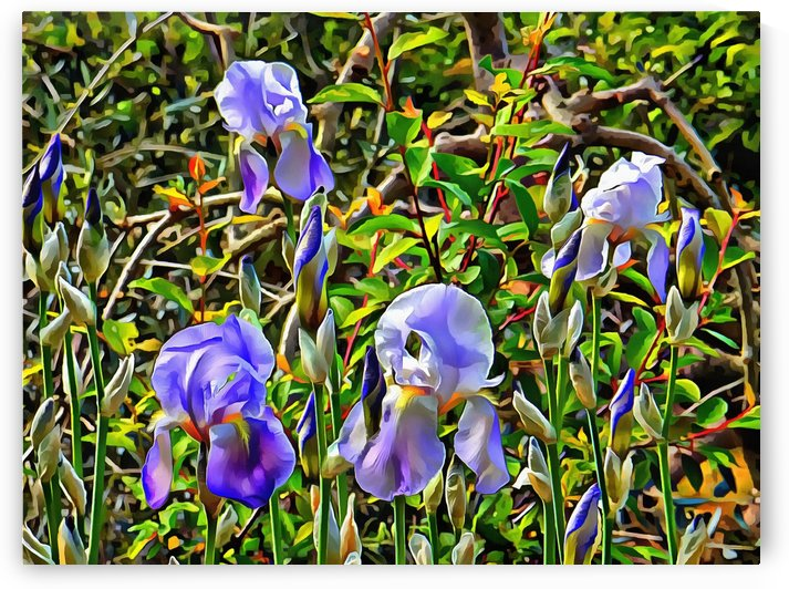 Bearded Iris in the Sunshine by Dorothy Berry-Lound