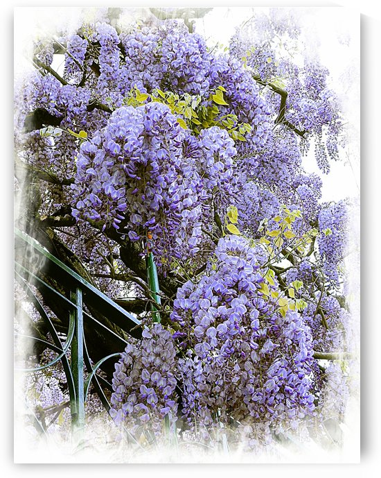 Wisteria Clouds by Dorothy Berry-Lound