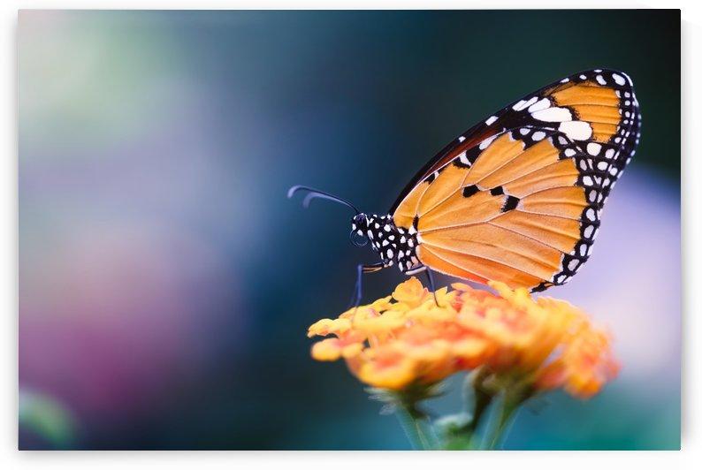 Monarch by Vincent Naze
