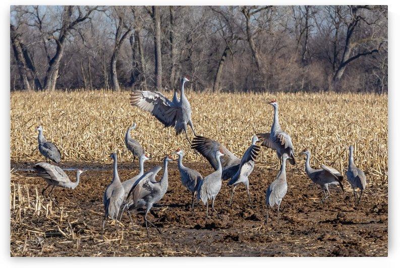 Dancing Cranes by Garald Horst