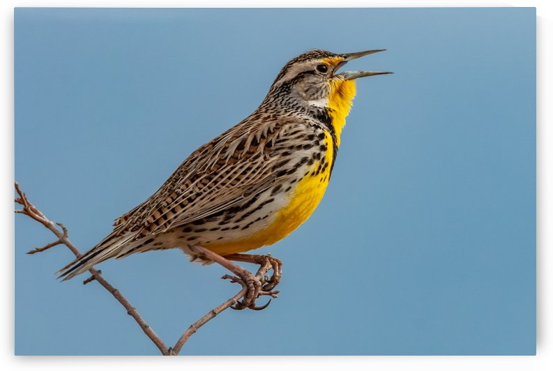 Meadowlark Singing In Early Spring by Garald Horst