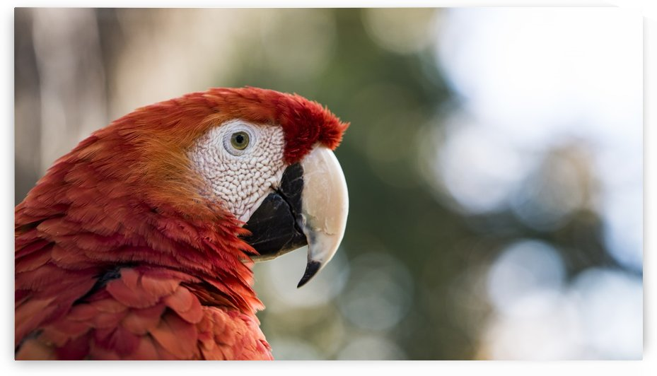 Scarlet Macaw by Petrus Bester