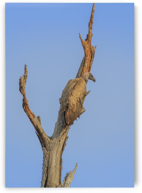 White-backed vulture in a tree by Petrus Bester