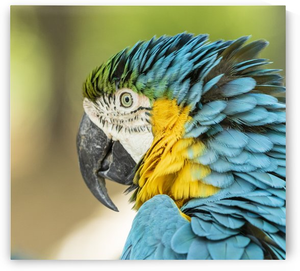 Blue-and-yellow macaw by Petrus Bester